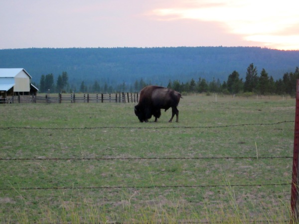 Oh give me a home ... where the buffalo roam ...